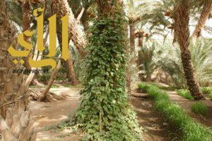 """"""" الشام """" الثمرة الشتوية في وادي الدواسر"""