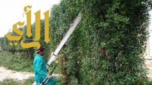 بلدية محافظة الجبيل تقوم بتقليم أكثر من 1500 شجرة