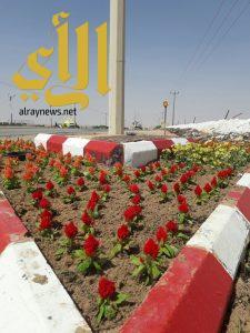 بلدية الذيبية تزرع الورود في الطرق الرئيسية ضمن برنامج (مدينتي أجمل)