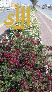 مليجه تتزين بأكثر من  134 ألف زهرة و 811 نخلة و820 شجيرة
