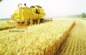 استكمال شراء كامل محصول القمح المحلي