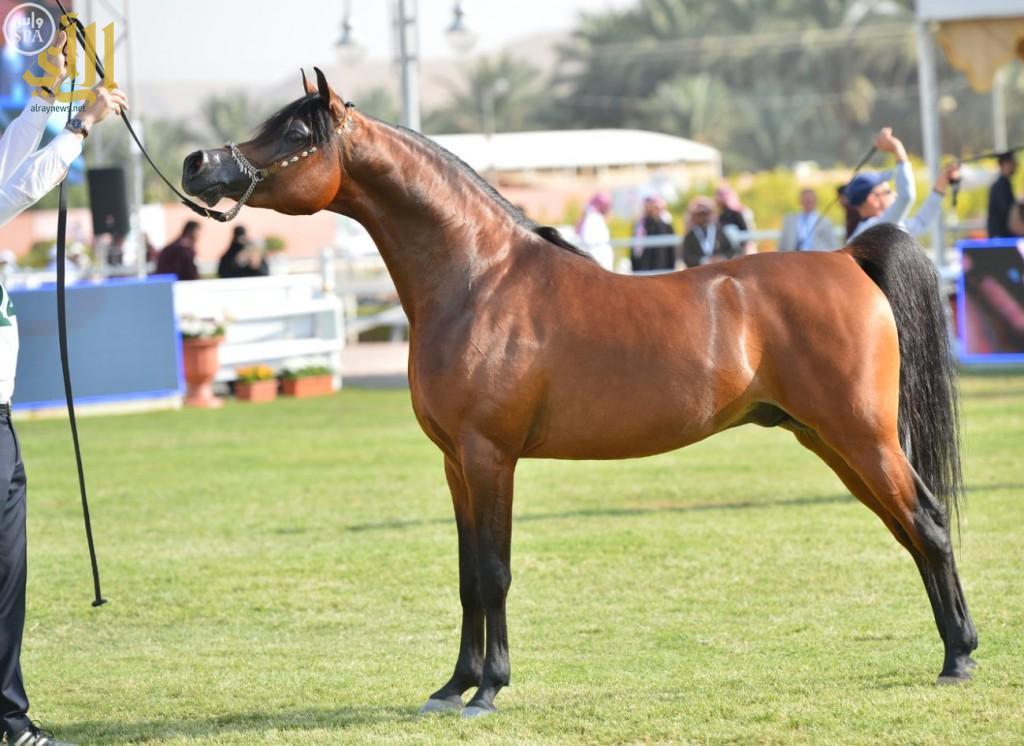tmp_21543-نتائج نهائيات بطولة مركز الملك عبدالعزيز للخيل العربية الأصيل 9-898532435