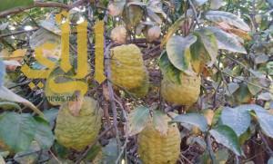 """"""" الأترجة """" فاكهة المربعانية في وادي الدواسر"""