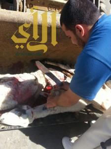 """بلدية """"خميس مشيط"""" تضبط مركبة تحمل أغنام هزيلة لبيعها على مطاعم """"المندي"""""""