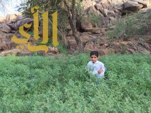 صحراء وادي الدواسر تكسوها الخضرة