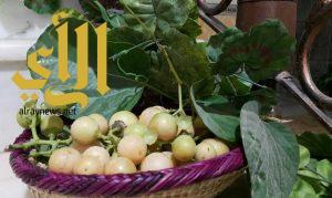 """""""البمّبر"""" فاكهة كبار السن في وادي الداوسر"""