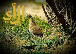 أبوظبي ترصد إصابات بين «السمان» بإنفلونزا الطيور