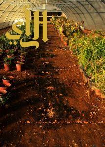 بلدية بيشة تنتهي مشتلها الذي ينتج 150 ألف زهرة سنوياً