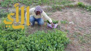 زراعة الورقيات بوادي الدواسر .. جمال في الحقول وفوائد صحية على المائدة