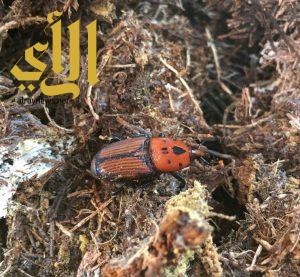 بالصور .. السوسة الحمراء تجلب إلى محافظة طريب
