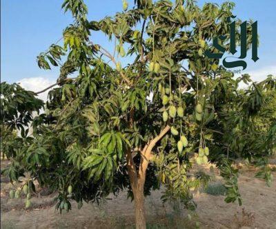 المانجو تتصدر أهم المحاصيل السنوية في جازان