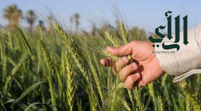 البُر (السمرا والصما) من أبرز المحاصيل الزراعية في نجران