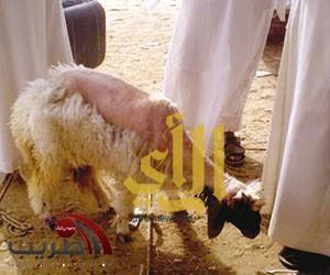 """أغنام """"هزيلة"""" تباع بأسواق الرياض وزبائنها عمال ملاحم ومطاعم"""