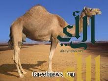 في إنجاز علمي سعودي هو الأول من نوعه على مستوى العالم فك الشفرة الوراثية للجمل العربي (جينوم الجمل)