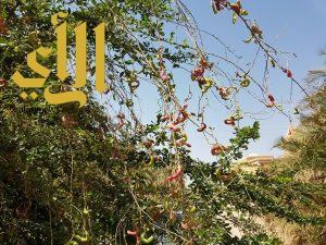 عناقيد اللوز الأحمر تزين مزارع وادي الدواسر وتستهوي متذوقيه
