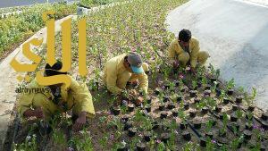 بلدية وسط الدمام تزرع 50 ألف زهرة وتقوم بصيانة المرافق العامة