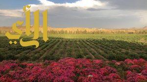 """مزرعة """"ورد آل عثمان"""" أكبر مزرعة ورد في أبها"""