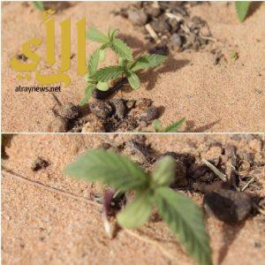 """الإطاحة بمصريين زرعا نبتة """"القنب الهندي"""" في مزرعة بالقصيم.. وببنجلاديشي هرب أقراص إمفيتامين"""