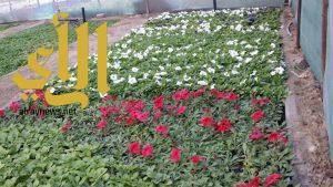 بلدية القطيف: مشتل البلدية ينتج مليون زهرة في العام